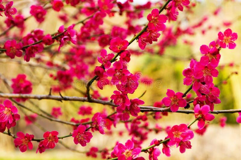 Blommor för japansk plommon royaltyfria foton