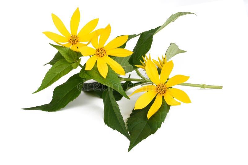 Blommor för Jerusalem kronärtskocka arkivfoton