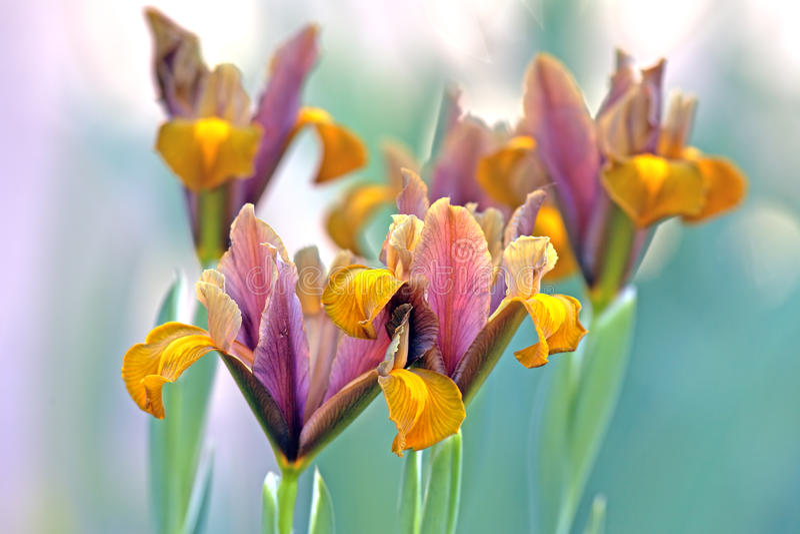 Blommor för lökformig iris royaltyfri fotografi