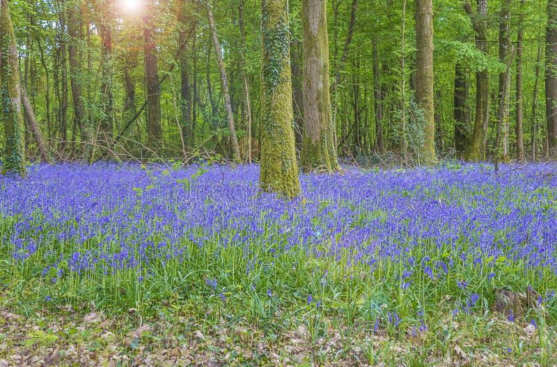 Blommor för lös hyacint som på våren blommar skogen arkivfoto