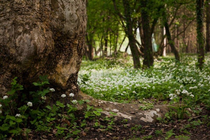 Blommor för lös vitlök arkivbilder