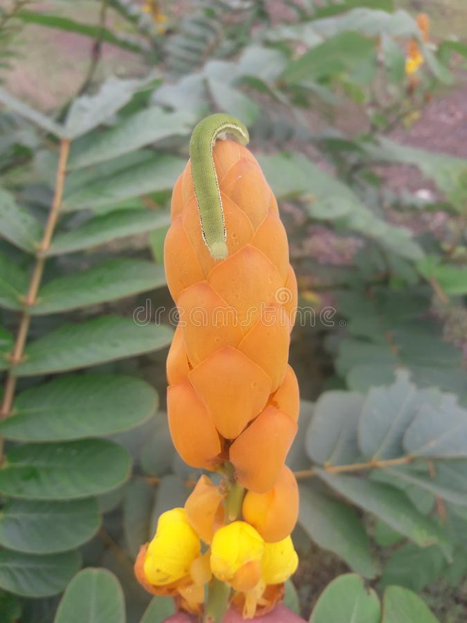 blommor för larv n royaltyfria foton