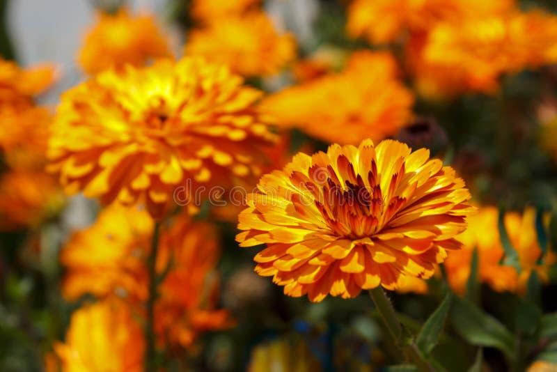 Blommor för orange tusensköna, trädgård royaltyfria bilder