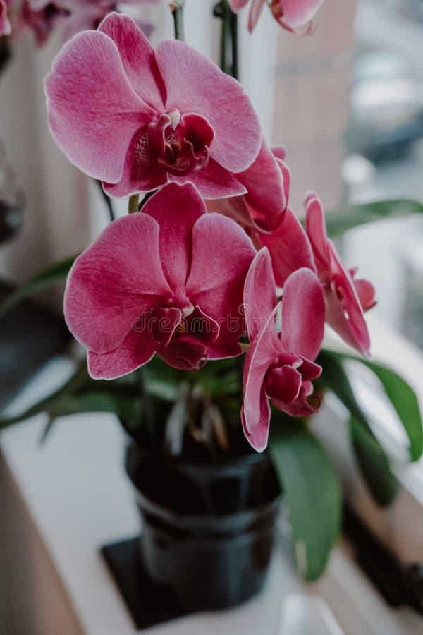 Blommor för orkidé för övre sikt för slut rosa royaltyfri foto