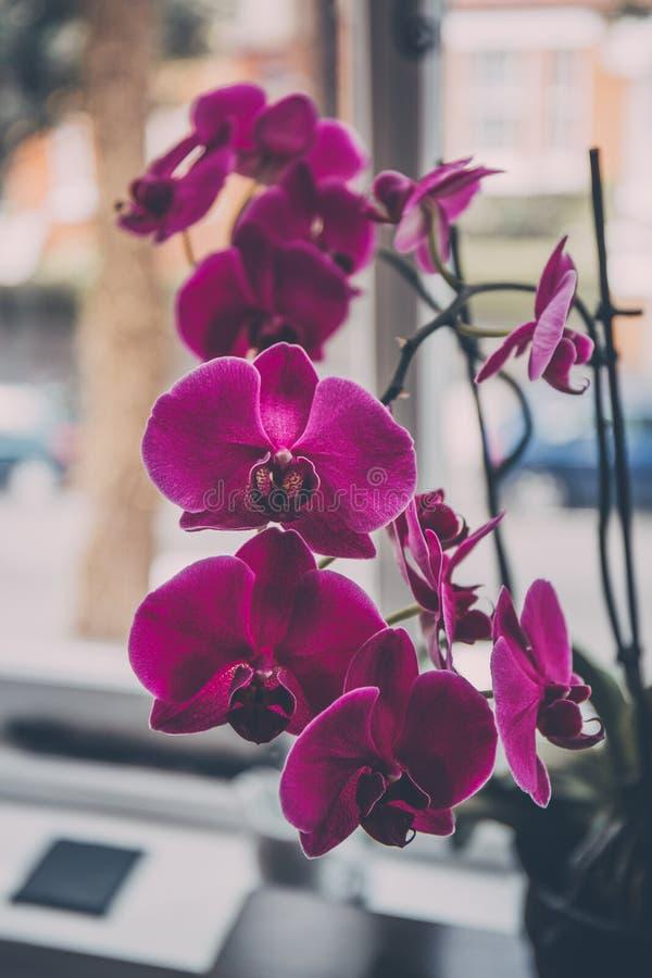 Blommor för orkidé för övre sikt för slut rosa royaltyfria bilder