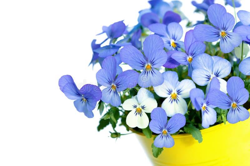 Blommor för PansiesViolets royaltyfri fotografi