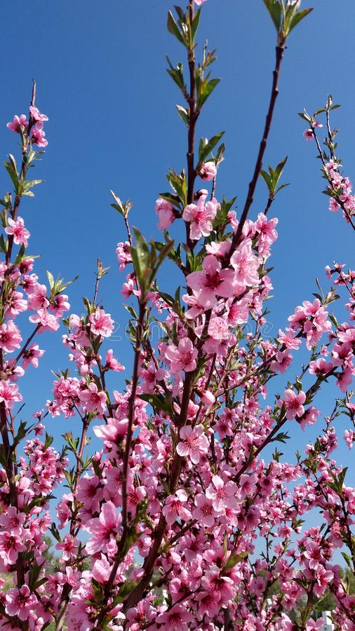 Blommor för persikaträd blommar på bakgrund för blå himmel arkivbild