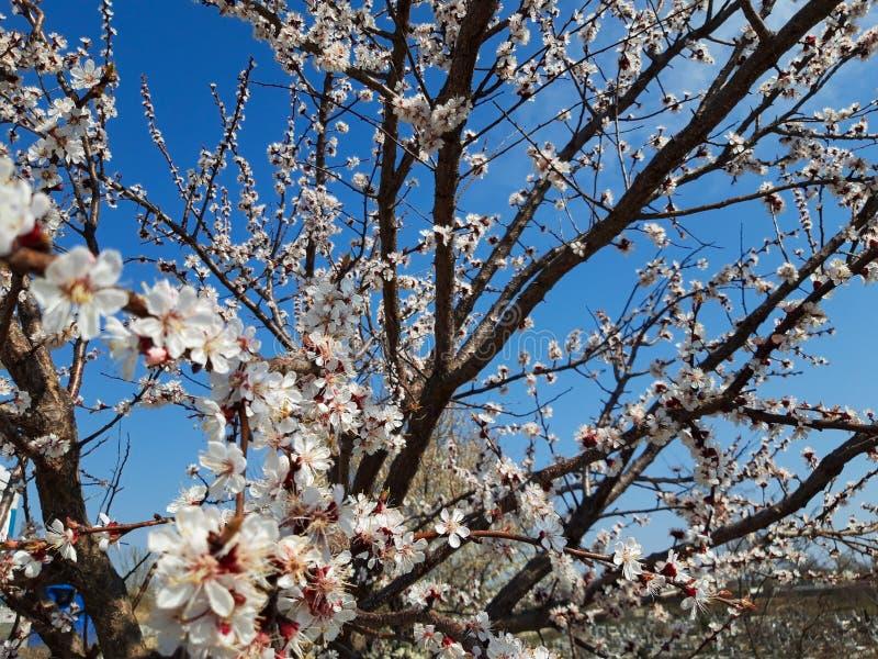 Blommor f?r persikatr?d p? v?ren arkivbild