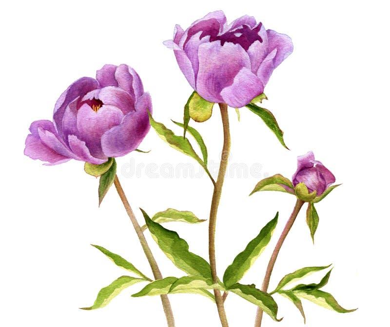 Blommor för pion för vattenfärgteckning rosa stock illustrationer