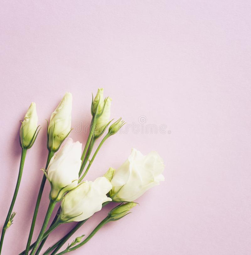 Blommor för präriegentiana på rosa färgpappersbakgrund royaltyfri fotografi