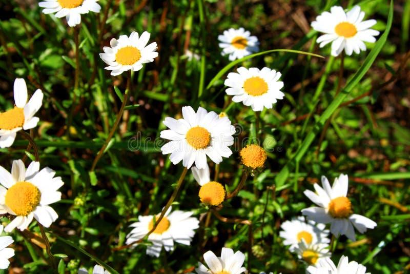 Blommor för prästkragetusensköna arkivfoto