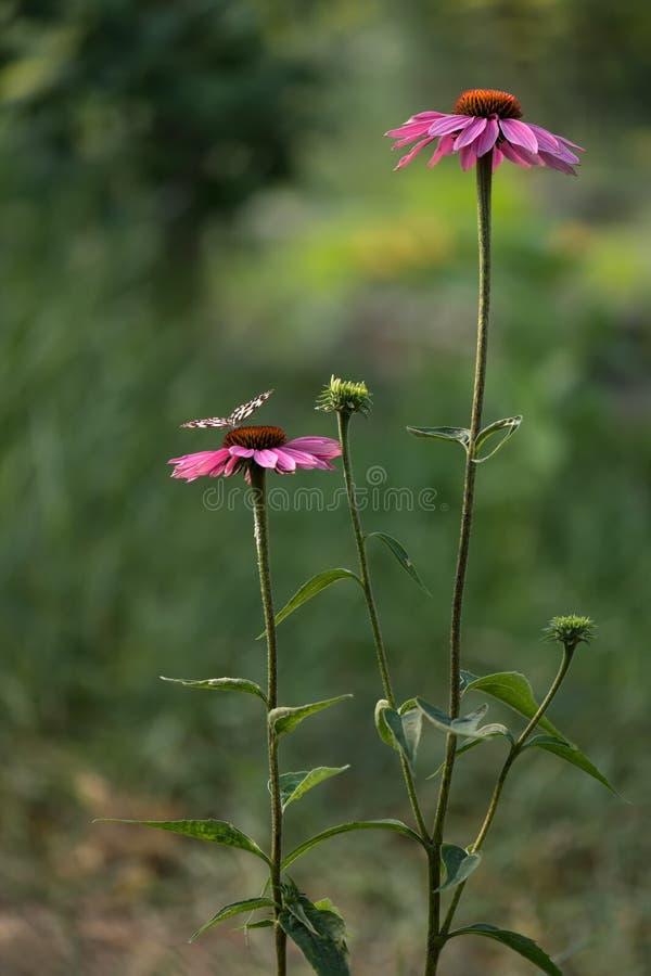Blommor för purpúrea för Echinà ¡ cea blommar i trädgården och tilldrar många fjärilar arkivbild