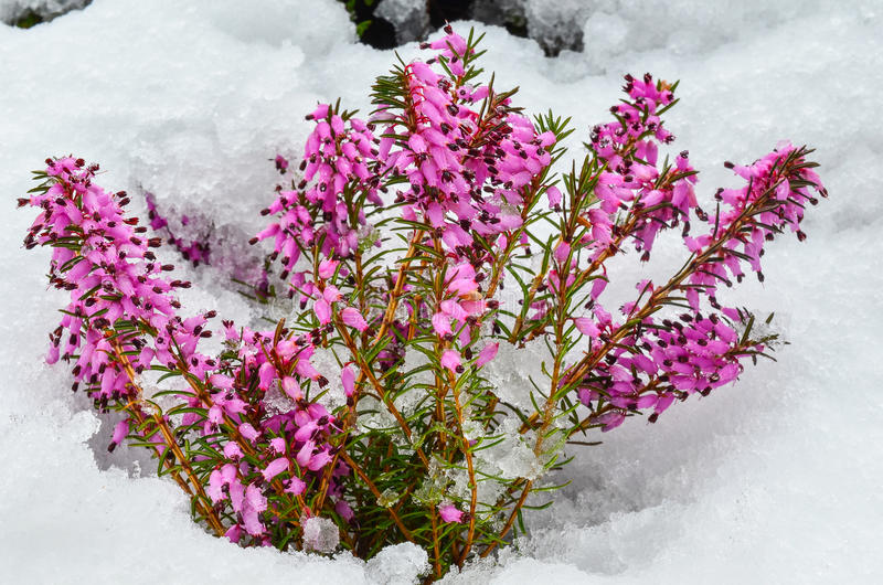 Blommor för purpurfärgad ljung arkivbild