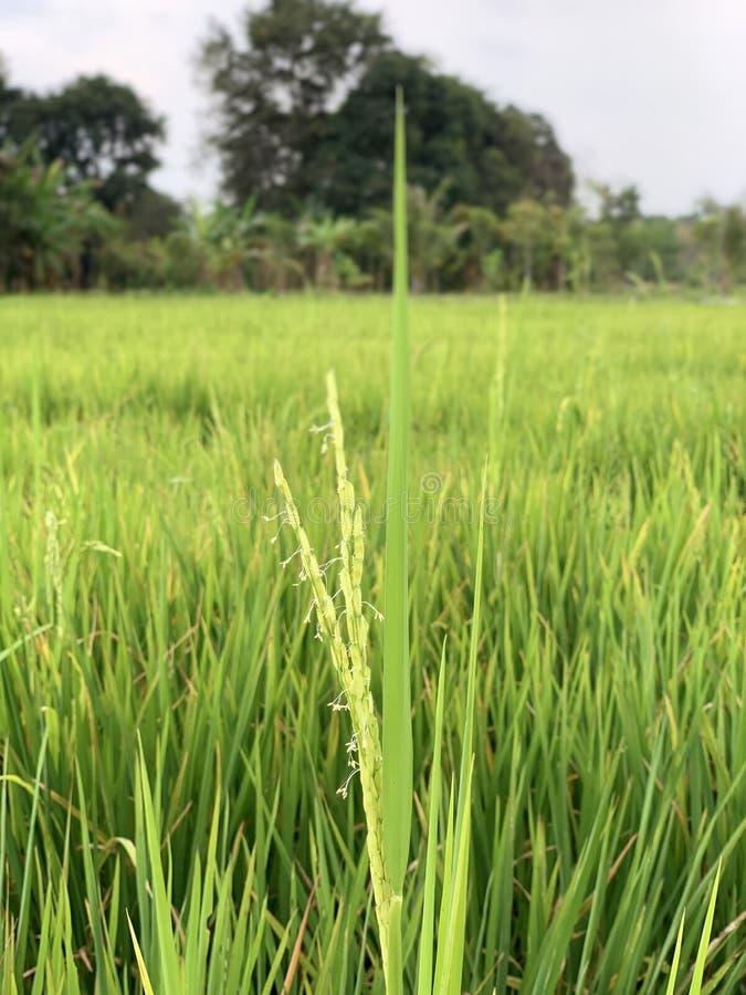 Blommor för risgräs i brett fältcloseuplandskap arkivfoto