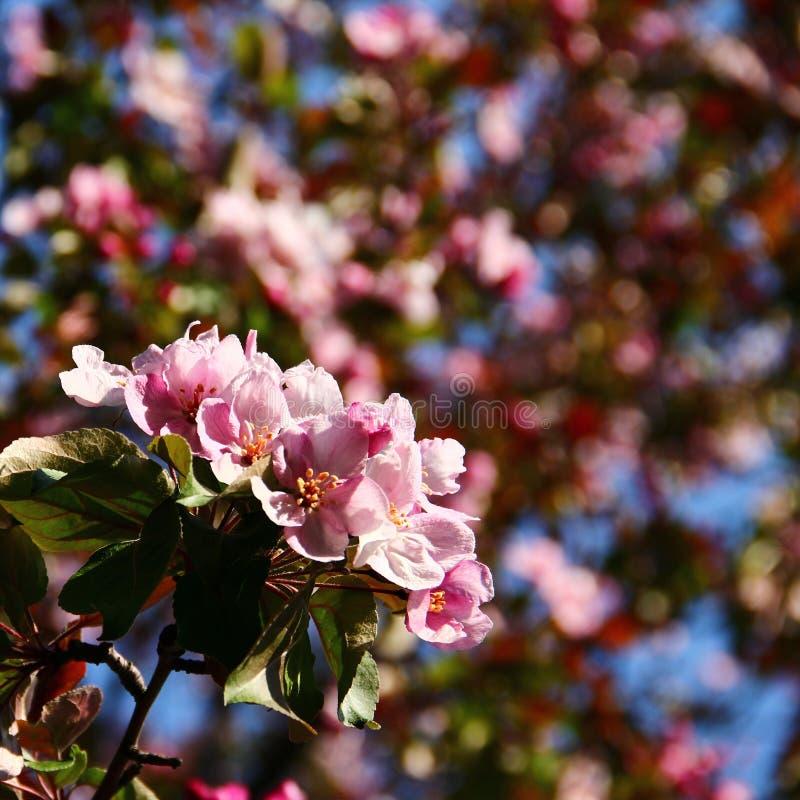 Blommor för rosa färger för Apple träd arkivbild
