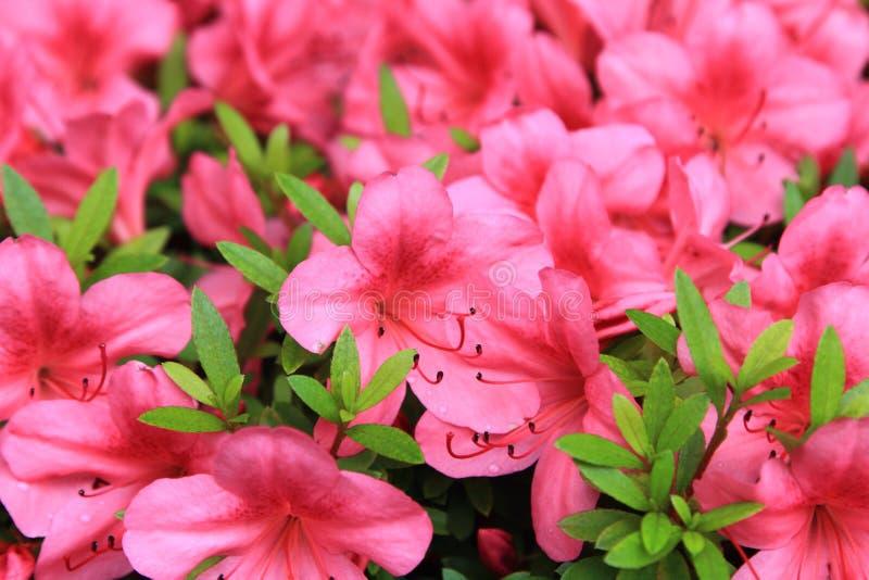 Blommor för rosa färger för pelargoniapelargon ljusa cerise royaltyfri fotografi