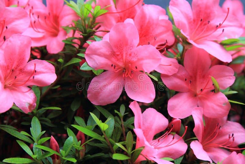 Blommor för rosa färger för pelargoniapelargon ljusa cerise fotografering för bildbyråer