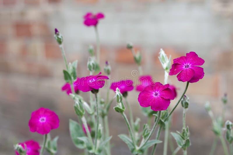 Blommor för Silene coronaria (rosa glim) arkivbild