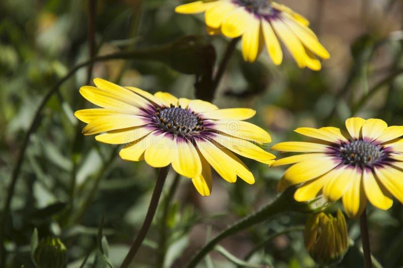 Blommor för skönhet för Osteospermum serenitet blått synade arkivbilder