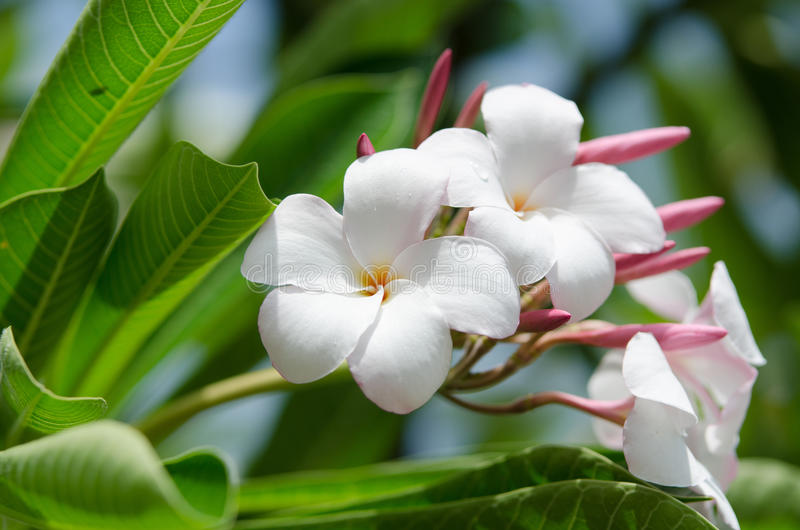 Blommor för skönhetvit- och rosa färgplumeria royaltyfri foto