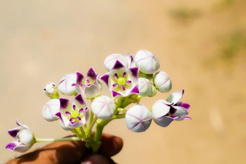 Blommor för Sodom äppleväxt fotografering för bildbyråer