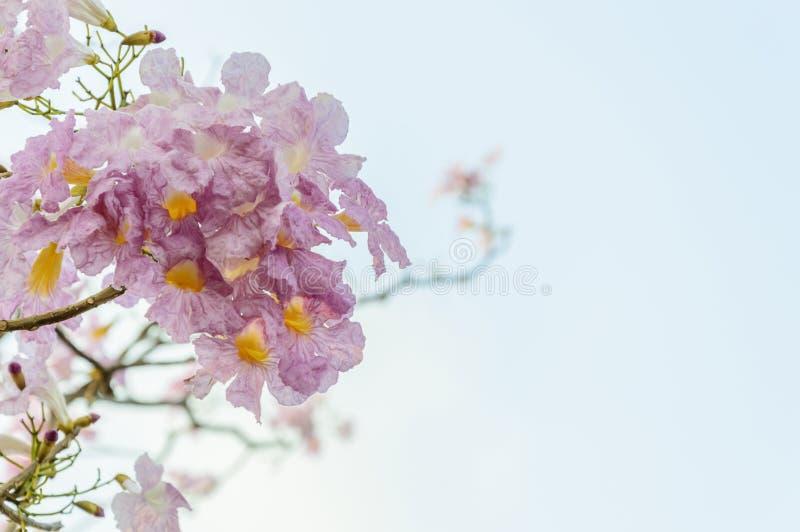 Blommor för Tabebuia rosearosa färger royaltyfri foto