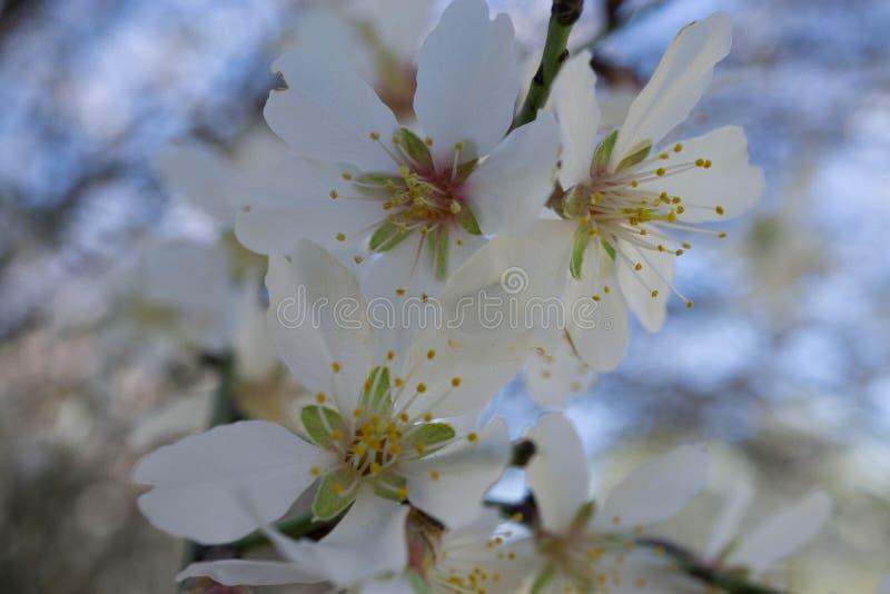 Blommor för träd för vinterblomningmandel arkivfoto