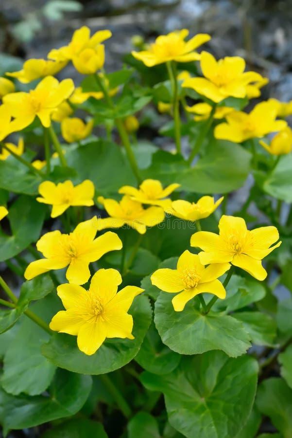 Blommor för träskringblomma arkivfoton