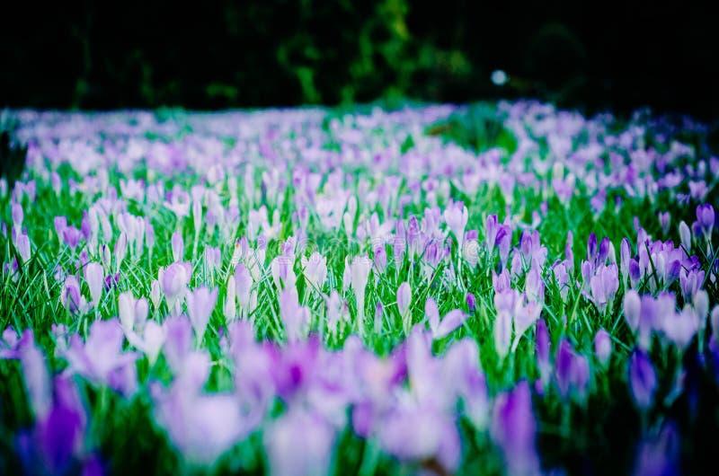 Blommor för vår för krokusfält tidiga royaltyfri foto