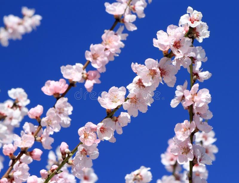 Blommor för vårmandelträd fotografering för bildbyråer