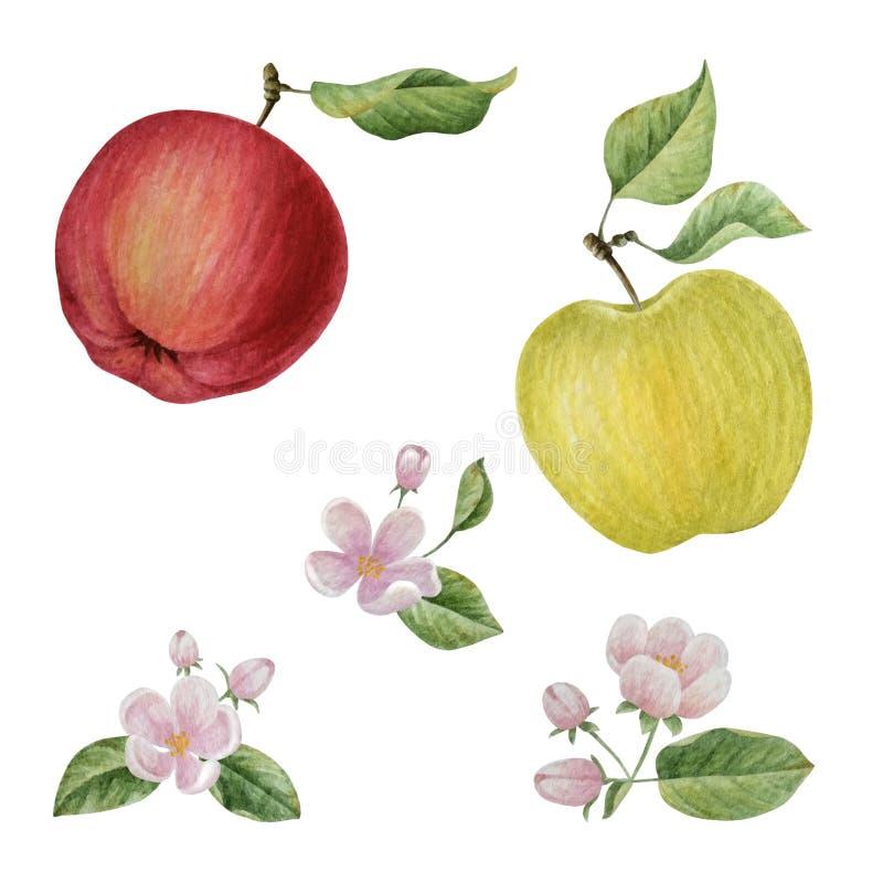 Blommor för vattenfärgäppleblom royaltyfri illustrationer