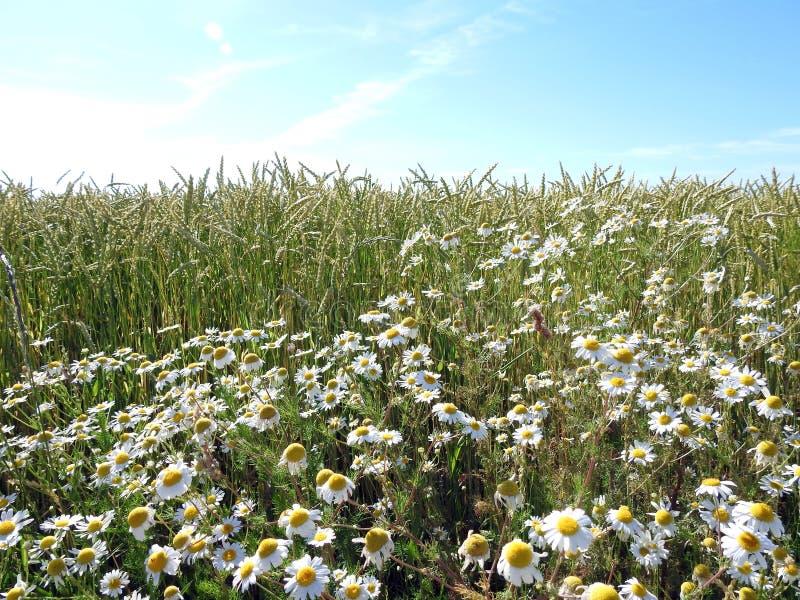 Blommor för vete och för vit tusensköna i sommar, Litauen royaltyfri foto