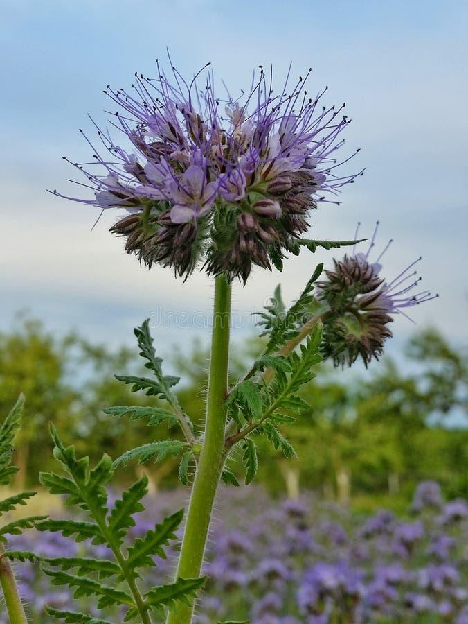 Blommor för violet för äng Phacelia för sädes- fält arkivfoto