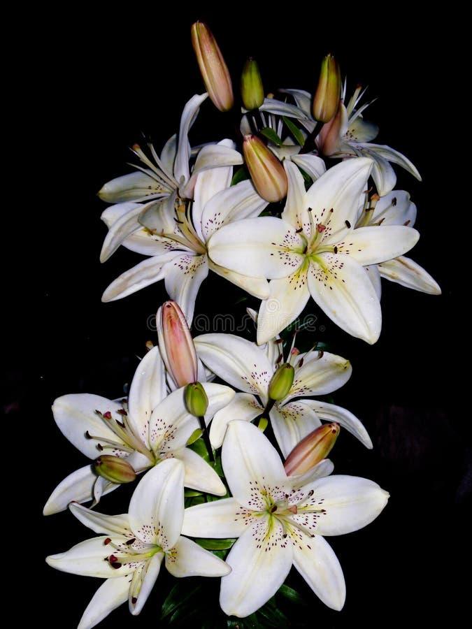 Blommor för vit lilja som isoleras på svart arkivfoton
