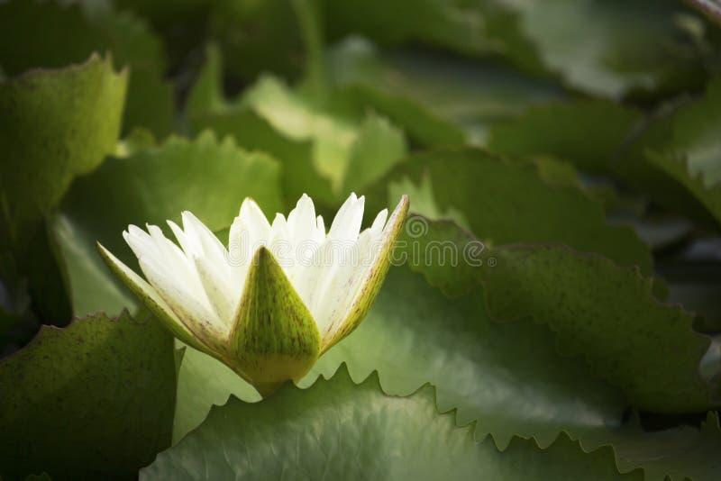 Blommor för vit lotusblomma blommar i dammet på morgonen parkerar royaltyfri foto