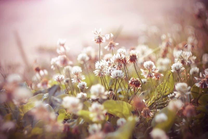 Blommor för vit växt av släktet Trifolium växer, exponerat av ett rosa ljus royaltyfria foton