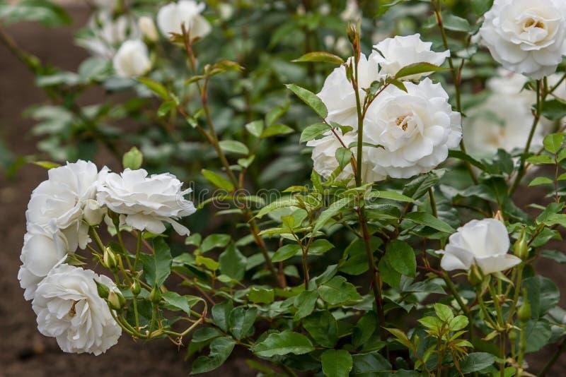 Blommor för vita rosor på en buske i en botanisk trädgård Horizonral ram arkivbild