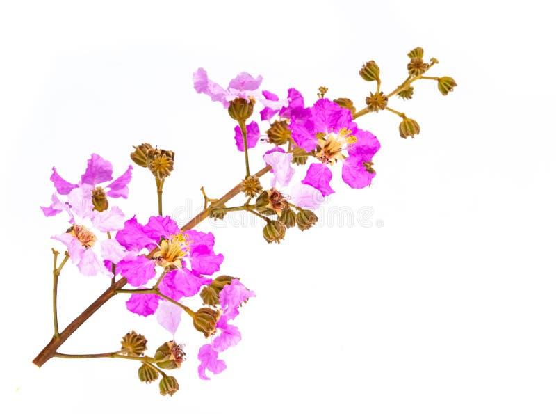 Blommor för Wood violets som isoleras på vit bakgrund royaltyfri bild