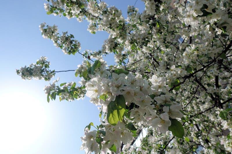 Blommor f?r Apple tr?d denlager delen av en växt som består av stamens för reproduktiva organ, och carpels som är typisk royaltyfri bild
