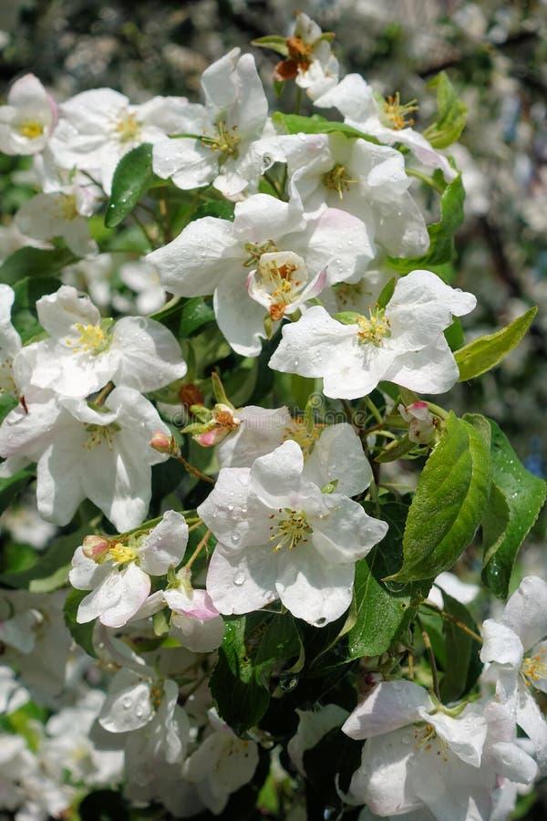 Blommor f?r Apple tr?d denlager delen av en v?xt som best?r av stamens f?r reproduktiva organ, och carpels som ?r typisk royaltyfri bild