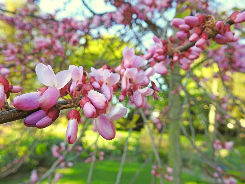 Blommor f?r kronblad f?r k?rsb?rsr?d blomning f?r v?rv?rsommar i knopptr?dfrukttr?dg?rd arkivbilder