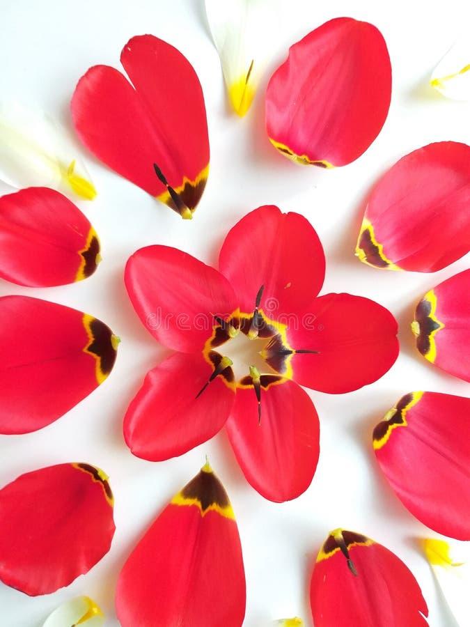 Blommor fjädrar bakgrund med tulpan arkivbild