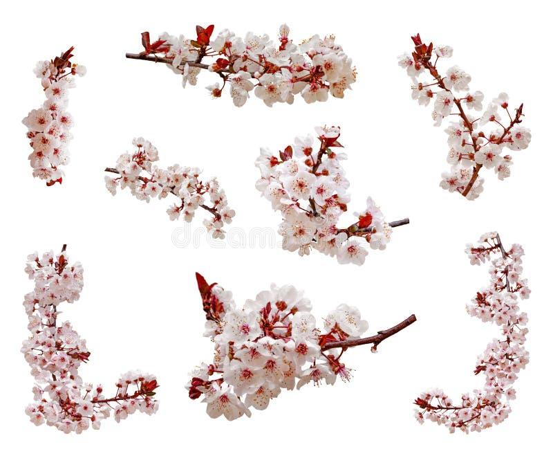 blommor från körsbärsblommor blommar på en gren som är isolerad på vit bakgrund Cutout aka, utskuren eller utklippt av japanska S royaltyfria foton
