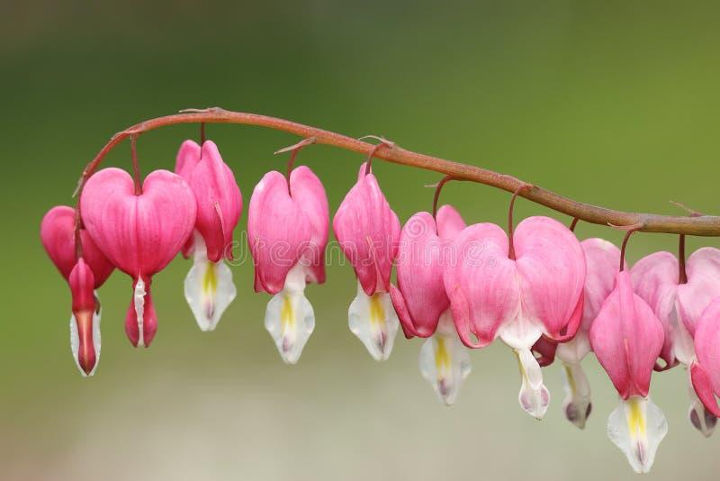 Blommor Fukuhara för blödande hjärta fotografering för bildbyråer