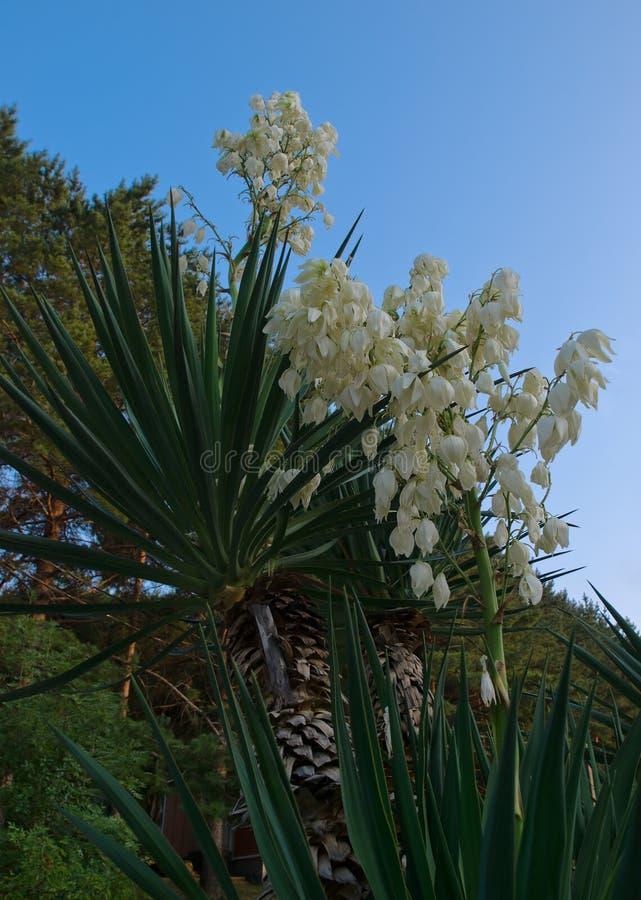 blommor gömma i handflatan yuccaen arkivbild