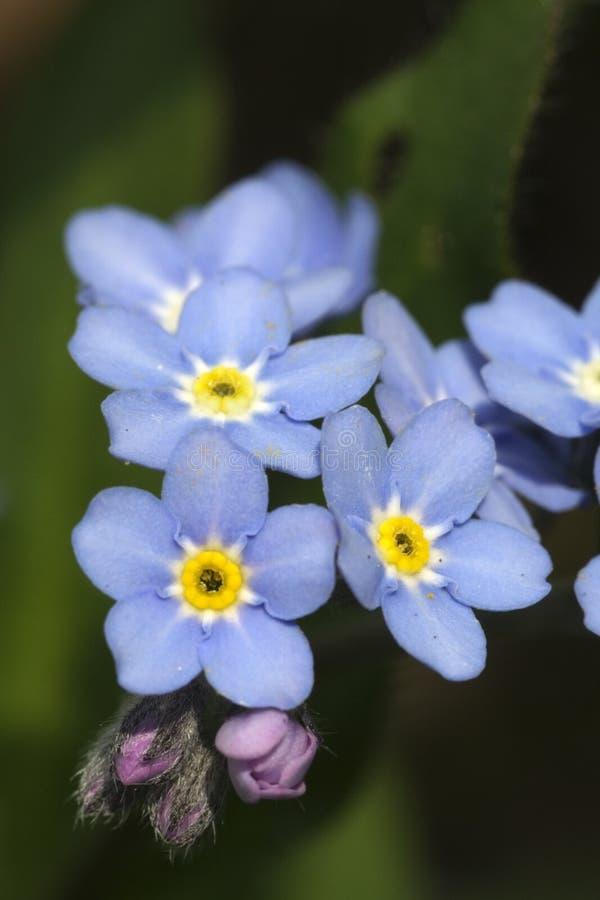 blommor glömmer mig inte royaltyfri foto