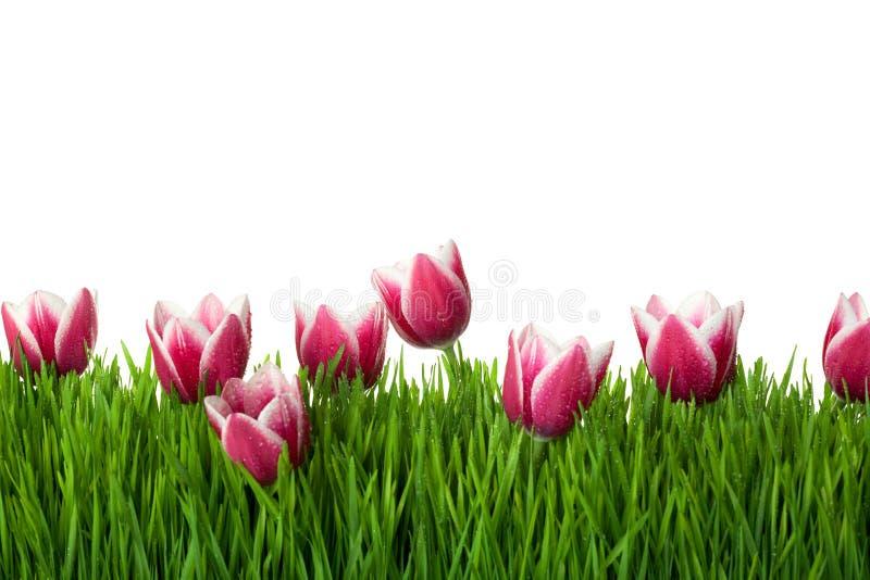 blommor gräs isolerad rosa tulpanwhite royaltyfri foto
