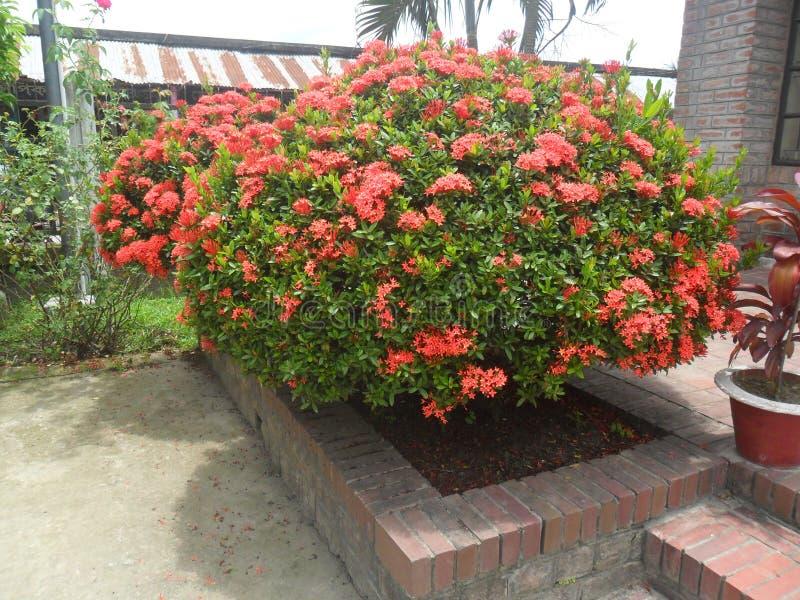 Blommor i Bangladesh royaltyfria bilder