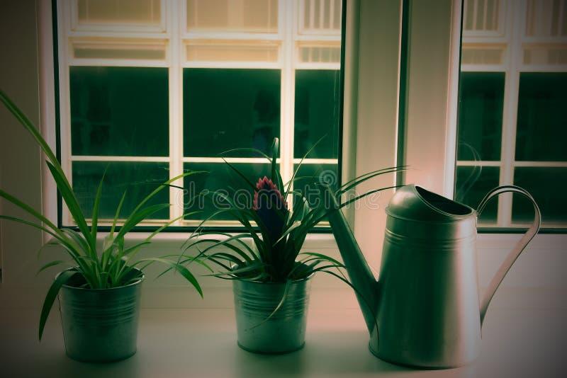 Blommor i blomkrukor och att bevattna kan på fönsteravsatsen Tillandsiablomma Tillfoga lomoeffekt arkivfoton
