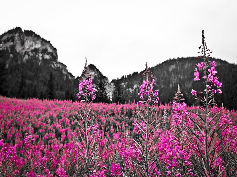 Blommor i de polska Tatra bergen arkivfoton